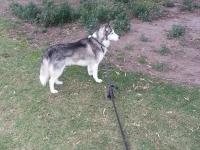 Husky Saba learnign recall